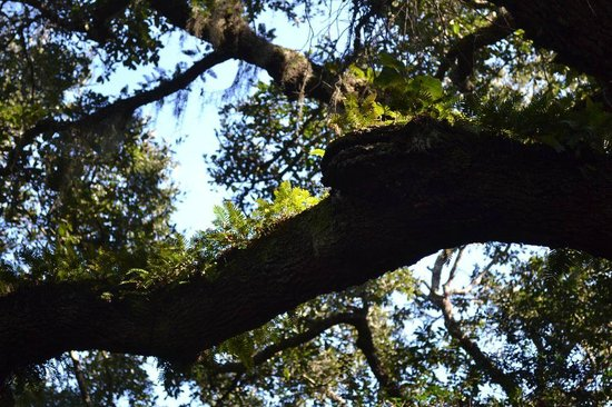 Little Talbot Island State Park : Oak with Ferns and Moss