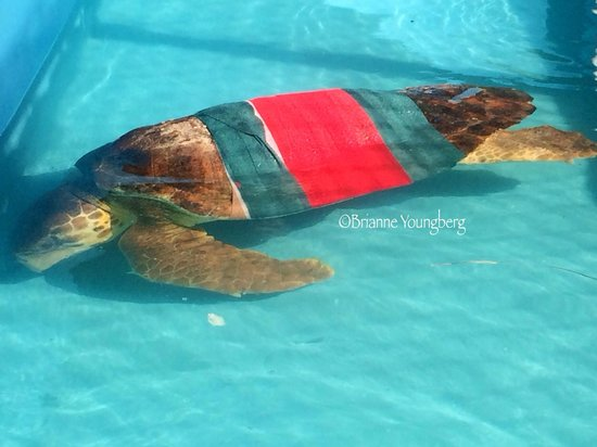The Turtle Hospital: A current patient dealing with an impaction from garage in our ocean. Here he can rest and recov