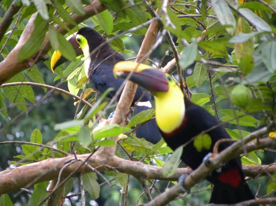Casa Corcovado Jungle Lodge: Toucans in trees on grounds by beach
