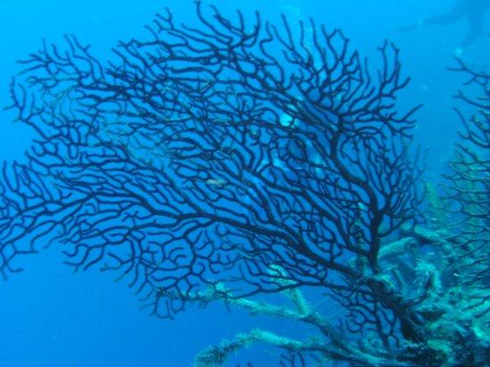 Salt Cay Divers: black coral