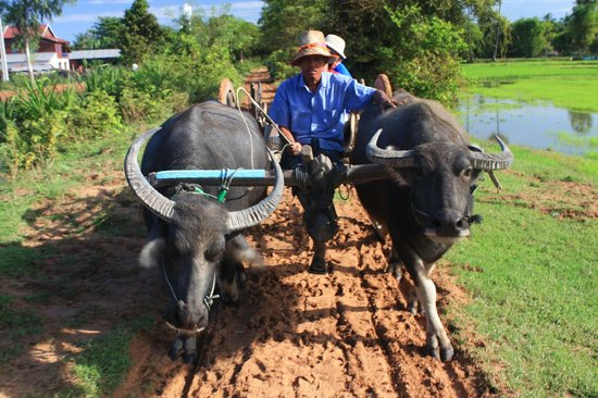 Royal Empire Hotel: Cambodian farm ox cart ride