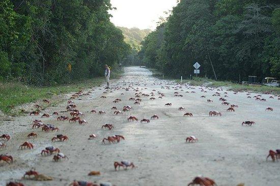 Christmas Island National Park: Montanhas, ruas, estradas, avenidas são tomadas pela migração em massa dos caranguejos vermelhos
