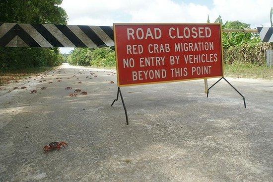 Christmas Island National Park : As ruas mais invadidas são fechadas para que os carros impeçam a migração