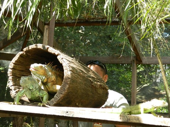 Green Iguana Conservation Project : oops...should we give them some privacy?  Eddie checked and they were done.