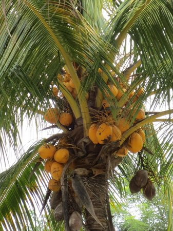 The Inn at Twin Palms: Coconuts