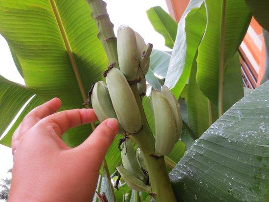 The Inn at Twin Palms : Baby bananas