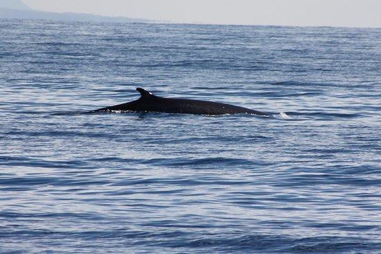 San Diego Whale Watch: fin whale