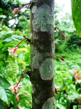 Oreba Chocolate Tour : Blossoms and buds of what will become cacao bean pods!