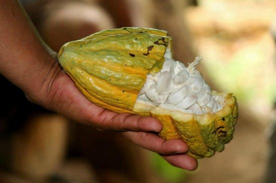 Oreba Chocolate Tour : Ripe, raw cacao pod with seeds (edible)