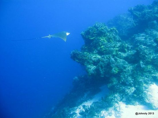 Blue XT Sea Diving: Eagle Ray