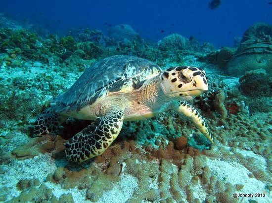 Blue XT Sea Diving: Turtle