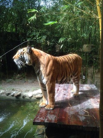 Bolaven Cafes Langkawi: Zanah the tiger