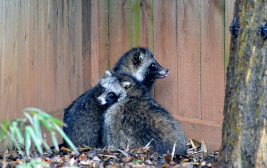 "Zoo Atlanta: ""Racoon dogs"""