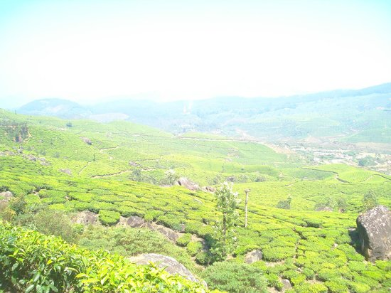 Club Mahindra Munnar : Plantation view