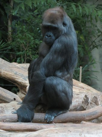 Milwaukee County Zoo: Gorilla.