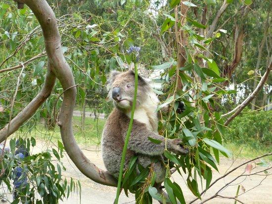 adorable b b koala picture of kennet river koala walk. Black Bedroom Furniture Sets. Home Design Ideas