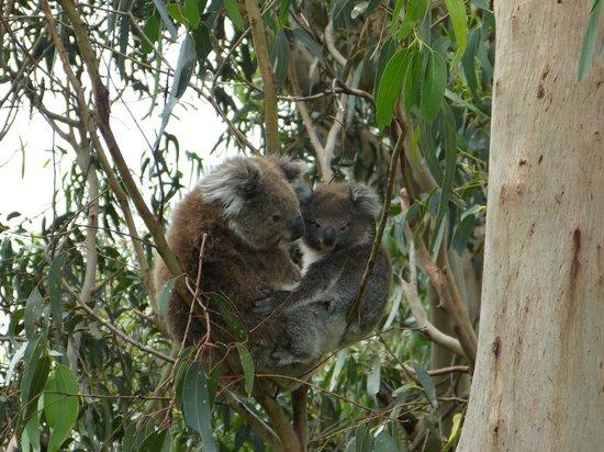 koala close to the road picture of kennet river koala. Black Bedroom Furniture Sets. Home Design Ideas