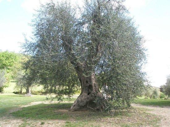 Abbazia di Sant'Antimo: Imposanter Olivenbaum