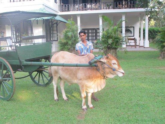 Horathapola Estate : Bullock cart ready for the free ride around the estate
