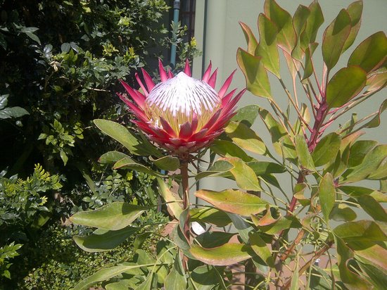 Blackheath Manor Guest House: king protea in Black-heath Manor's garden