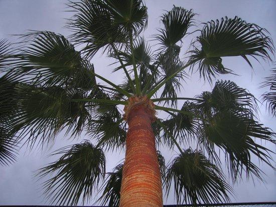 Kervansaray Hotel Kundu: пальма