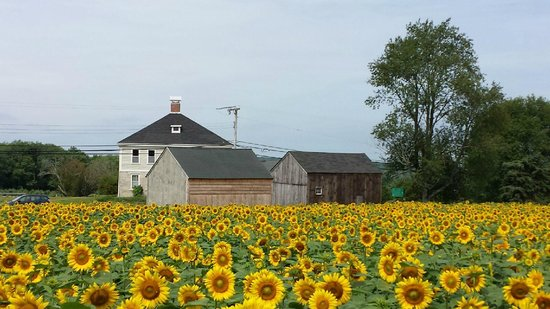 Buttonwood Farm: Buttonwood Ice Cream and Sunflower Farm in Griswold Connecticut
