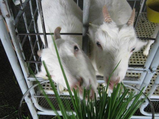 Desa Dairy Farm: Feed the Goats