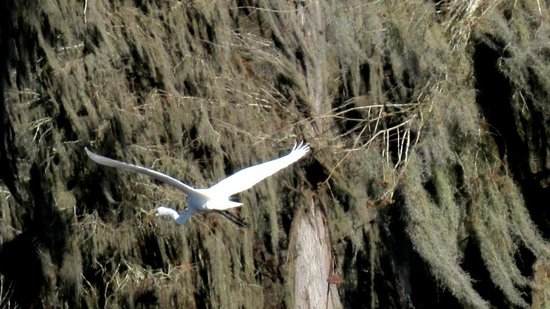 Cajun Country Swamp Tours : Flyng egret