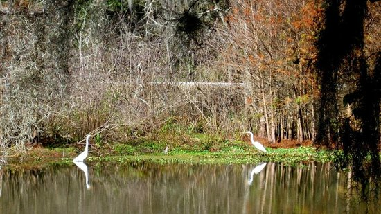 Cajun Country Swamp Tours : A couple of egrets