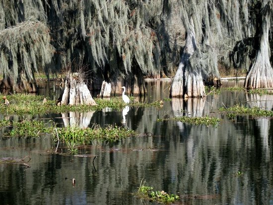 Cajun Country Swamp Tours : Egret in front of baldcypress