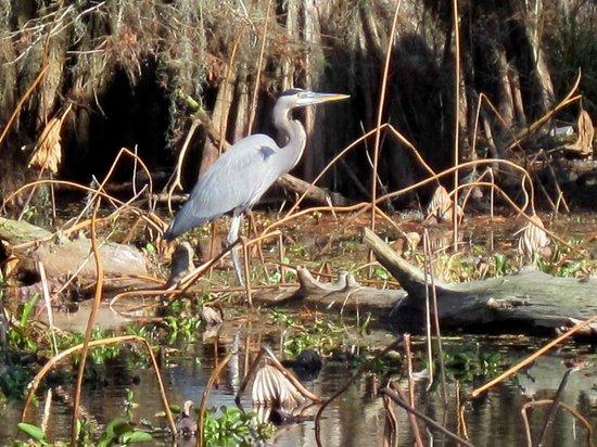 Cajun Country Swamp Tours : Blue Heron
