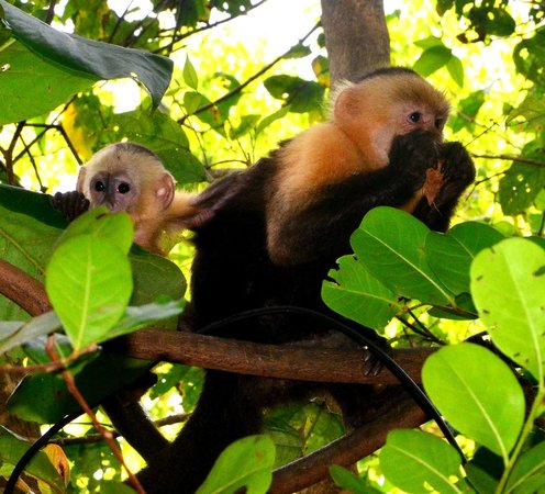 Curu National Wildlife Refuge: Monkeys at Curu Reserve