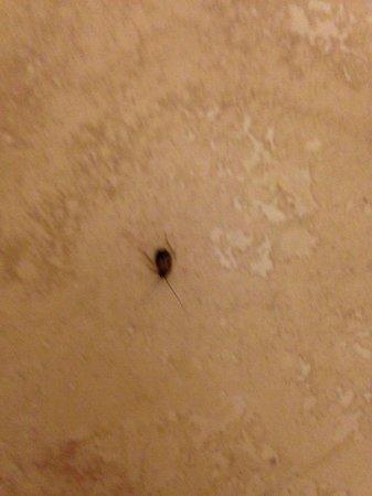 Ocean Pointe Suites at Key Largo: Roach