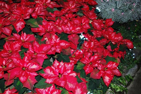Manito Park : Red & white poinsettia's