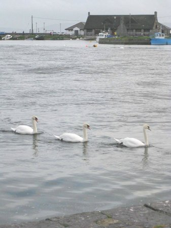 Eyre Square : Swans in Galway Bay