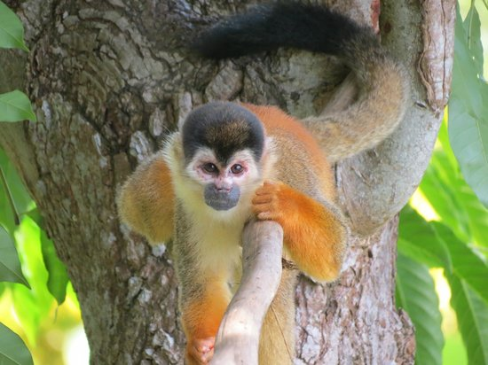 Lookout Inn Lodge: Squirrel Monkey on the grounds