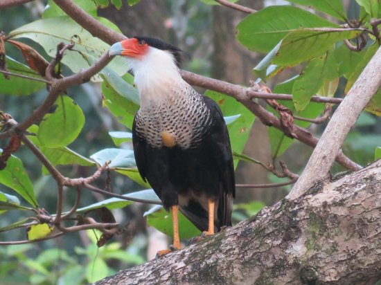 Lookout Inn Lodge: Crested Caracara