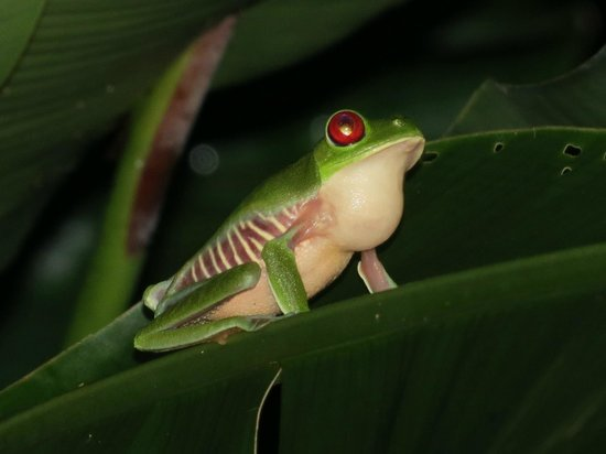 Lookout Inn Lodge: Red-Eyed Tree Frog at the frog ponds