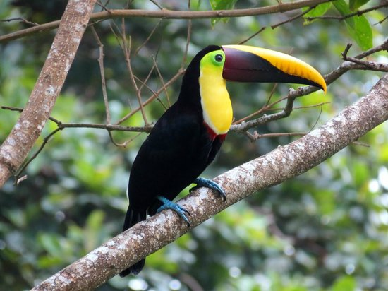 Lookout Inn Lodge: Chestnut Mandibled Toucan