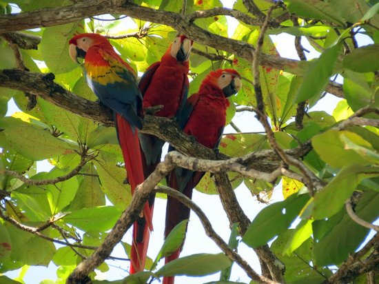 Lookout Inn Lodge: Scarlet Macaws in front of the lodge