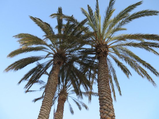 Grand Pacific Palisades Resort and Hotel: Majestic palms at the adult pool