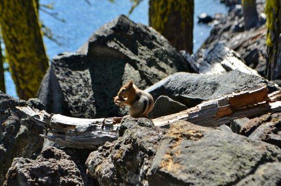 Wizard Island: Golden-Mantled Ground Squirrel