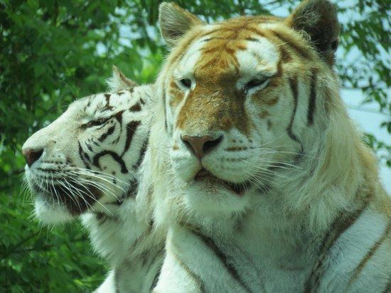 The Dakota Zoo : Tigers.