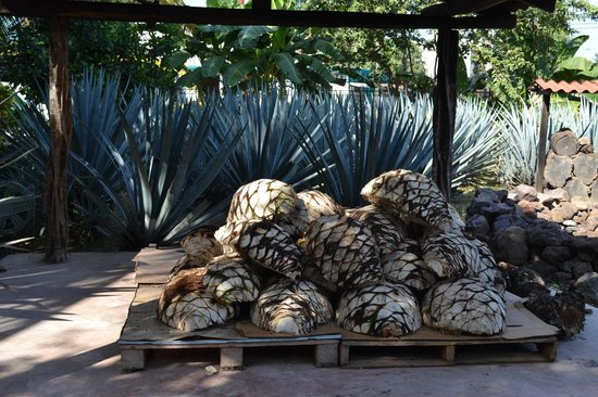 Puerto Vallarta Mama Lucia Tequila Tour: Agave plants used to make tequila