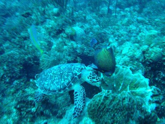 Grand Bahama Scuba: Munching on a sponge.