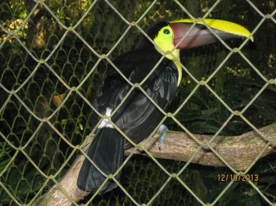 Zoo Ave: Toucan (one of many)