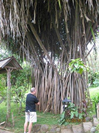 Pura Vida Hotel: A crazy tree