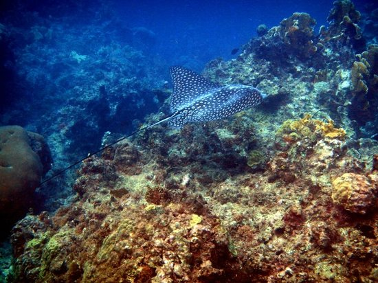 Barrett Adventures: spotted eagle ray