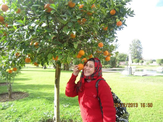 Palais Clementina: Oranges ready to be picked!