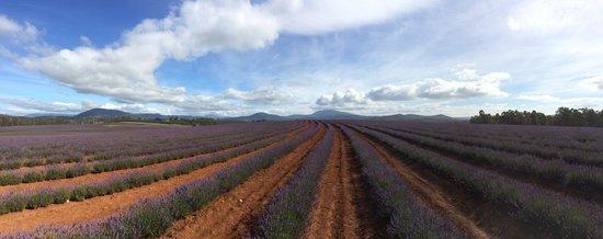 Bridestowe Lavender Estate: The Lavender Farm